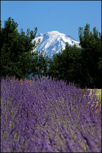 Hood River Lavender and Mt Adams