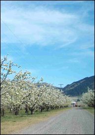Blossoms on tree in Hood River